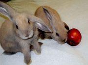 Кролики декоративные барашки с паспортом