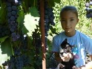 Продаю черенки винограда