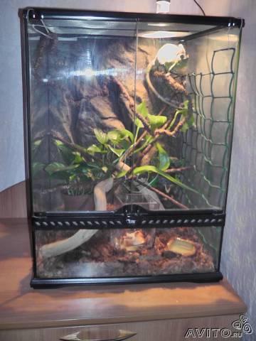 Продам: Йеменский хамелеон Ранго - Купить: Йеменский хамелеон ...