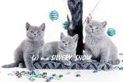 Британские котята на продажу из Москвы