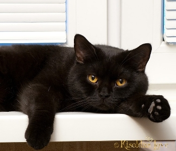 кот британский черный фото