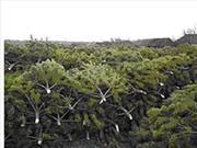 Новогодние живые елки,  сосны оптом с лесхоза к Новому году