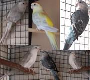 Продаю травяных Певчих попугаев.