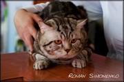 Вязка с шотландским котом чемпионом