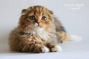 Шотландские котята,  питомник