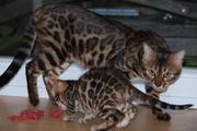 мини леопарды бенгальские котята с подарками