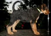Высокопородный щенок эрдельтерьера!!!