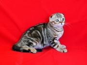 Шотландские вислоухие котята Art`s Family
