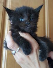 Котик Гигант породы Мейн Кун