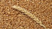Пшеница,  закупаем ЮФО,  ПФО,  СКФО