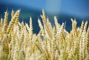 Семена пшеницы озимой  : Находка ,  Зерноградка 11,  Донская Юбилейная,