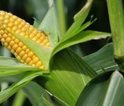 Семена кукурузы Зерноградская 282,  Зерноградская 354,  Краснодарская 291.