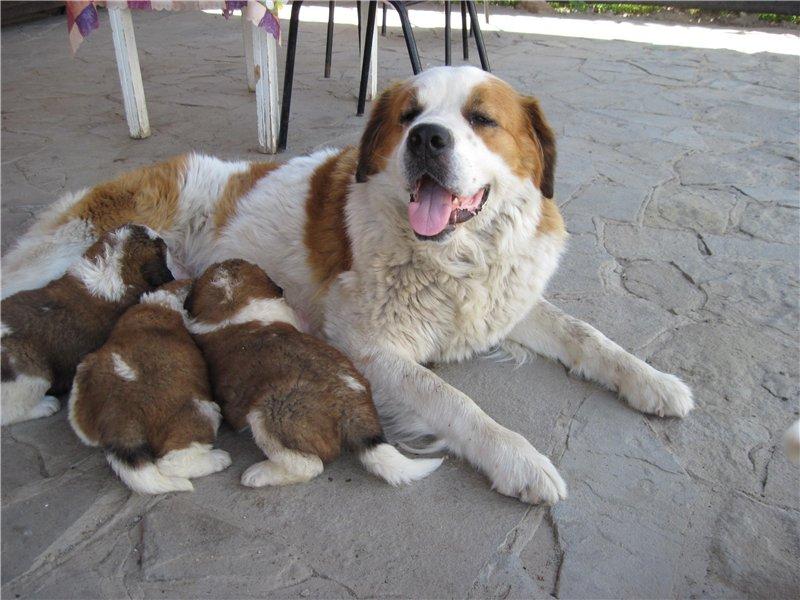 DOSKA.ru: Продаются щенки Сенбернара.