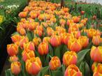 Тюльпаны ( для выгонки ,  для открытого грунта ) размер луковиц  разный