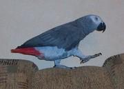 Продам своего попугая Жако